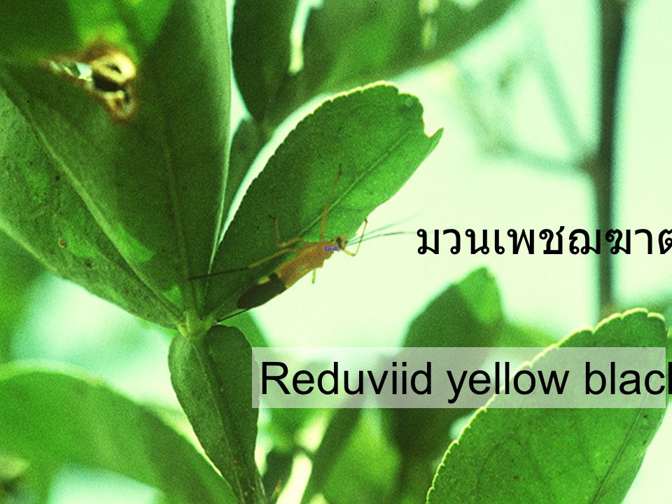 Reduviid yellow black abdominal มวนเพชฌฆาต