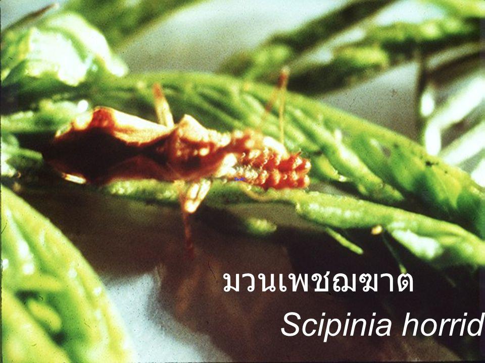 Reduviidae Female,Male มวนเพชฌฆาต
