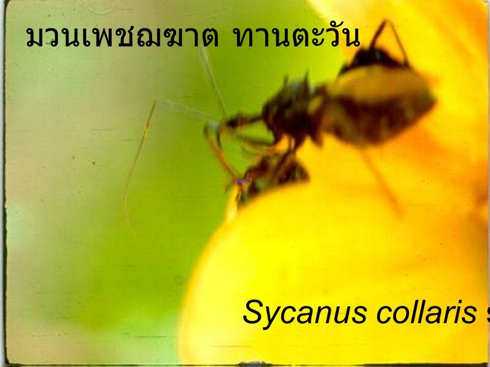 Sycanus collaris o n มวนเพชฌฆาต