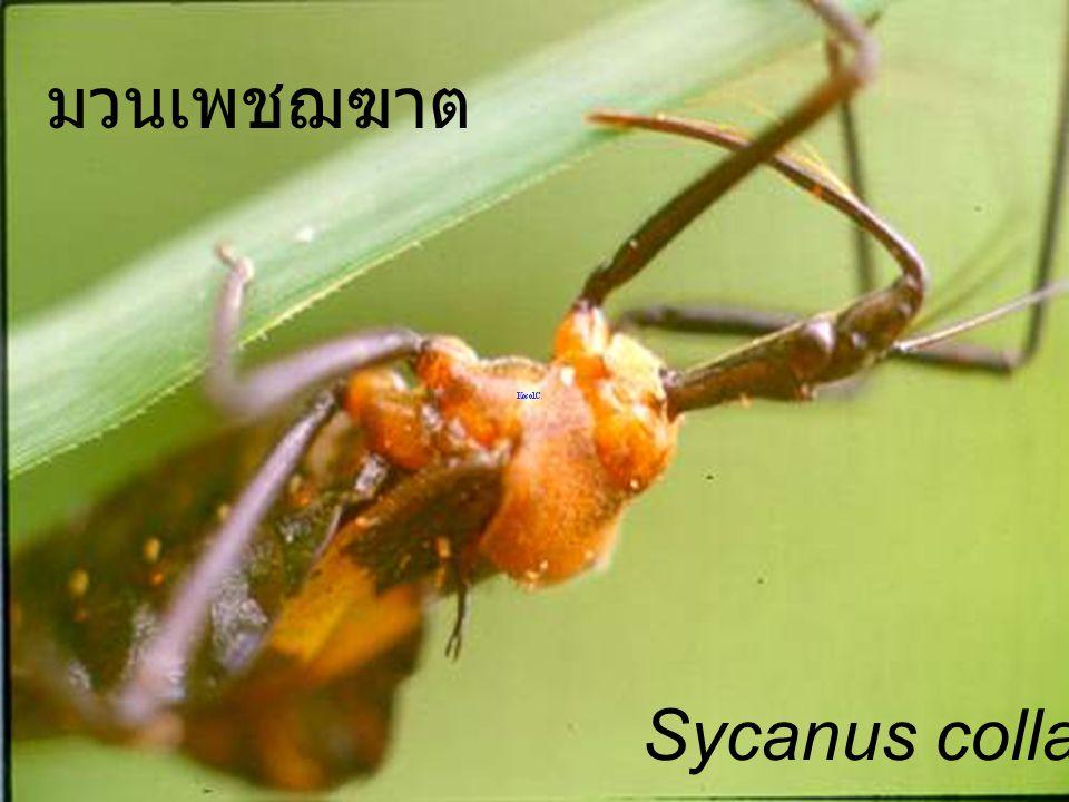 Sycanus collaris sunflower มวนเพชฌฆาต ทานตะวัน