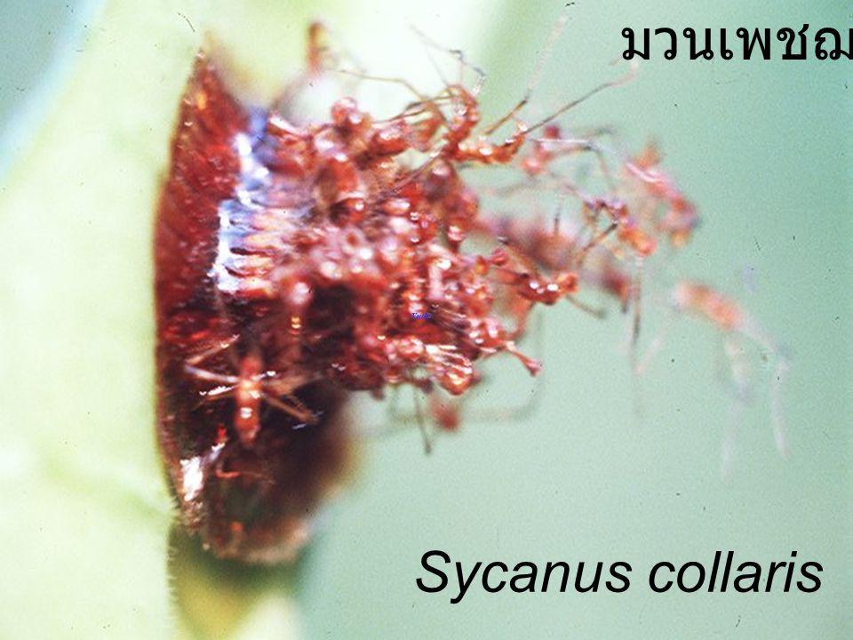 Sycanus collaris usd มวนเพชฌฆาต