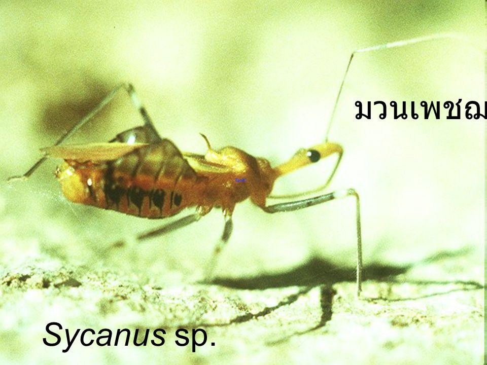 Sycanus collaris มวนเพชฌฆาต