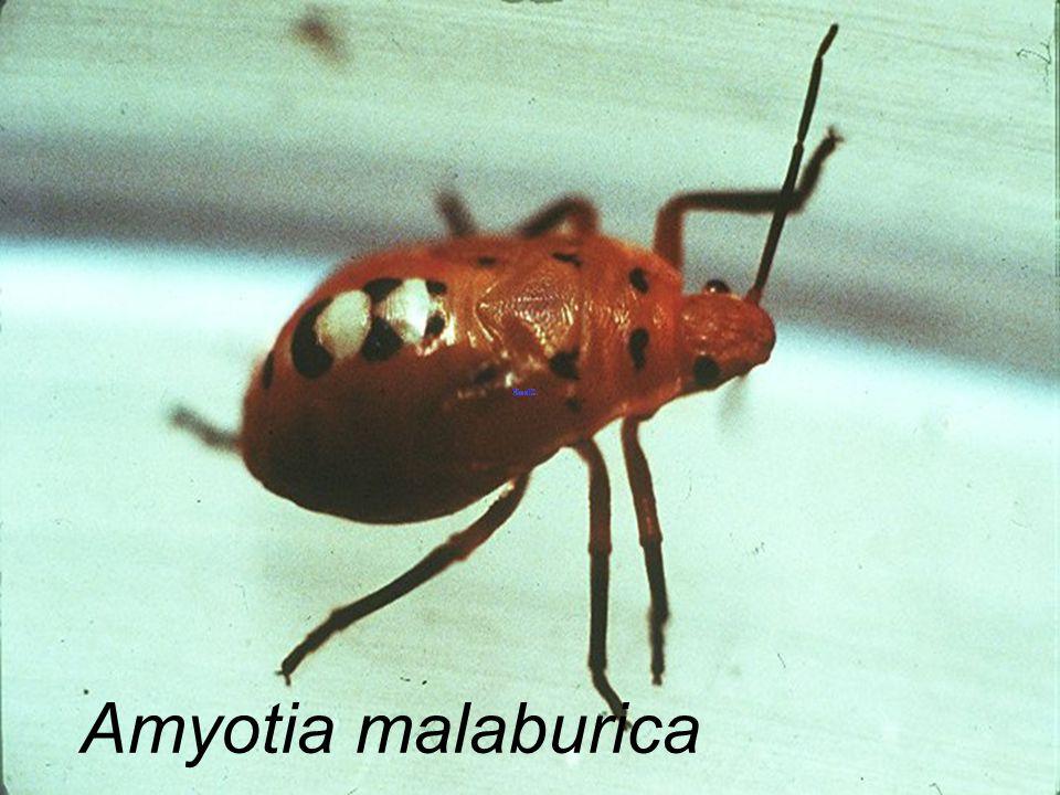 Vilius macrops มวนแดง