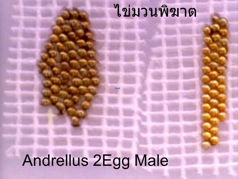 Amyotia malaburica