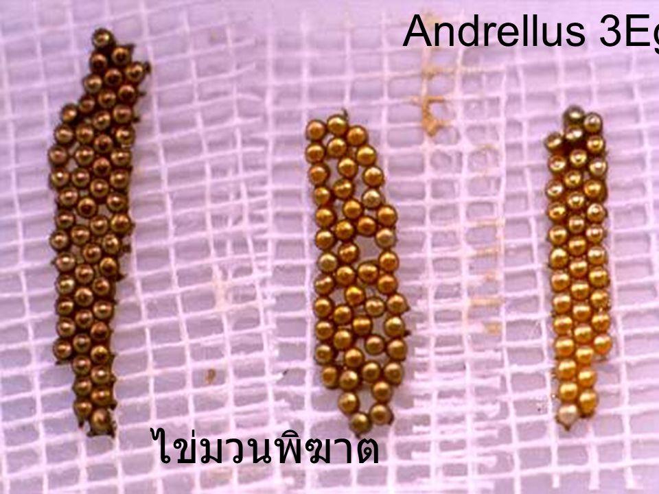Andrellus 2Egg Male ไข่มวนพิฆาต