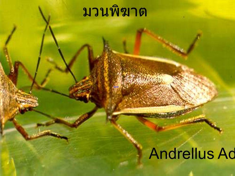 Andrellus 7Egg Male ไข่มวนพิฆาต