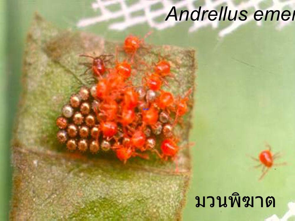 Andrellus Adult 2h มวนพิฆาต