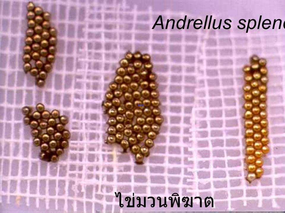 Andrellus on cat มวนพิฆาต