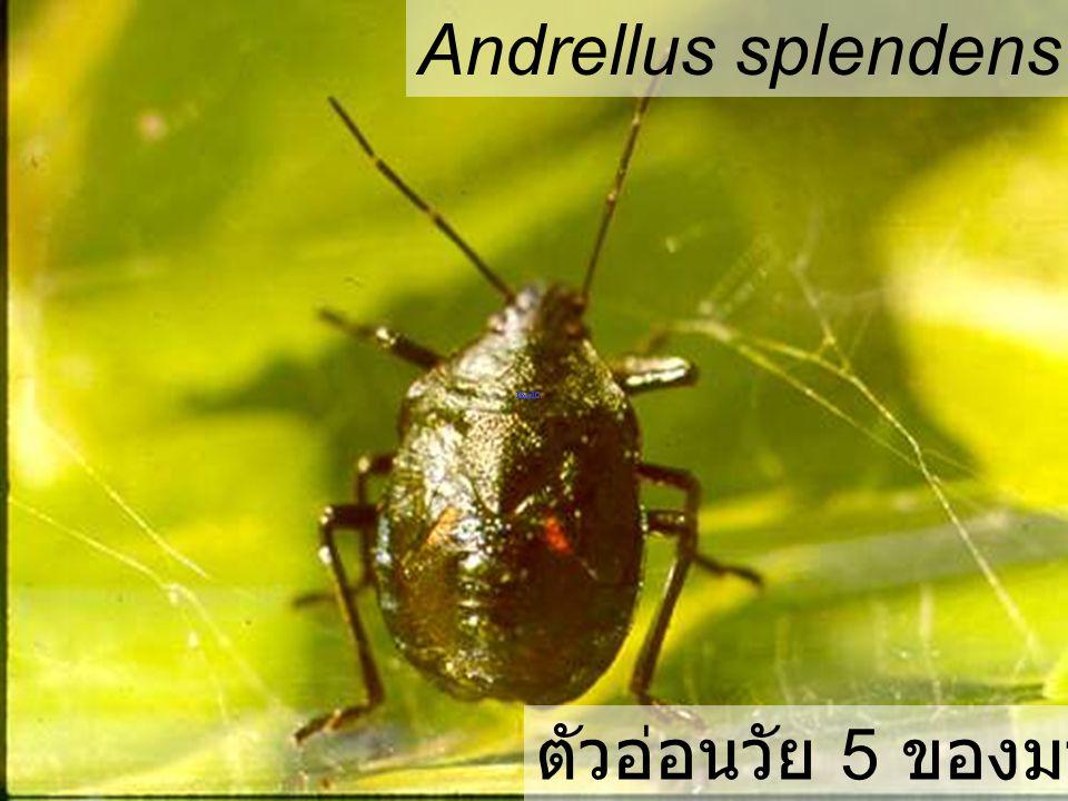 Andrellus splendens elm hg มวนพิฆาต