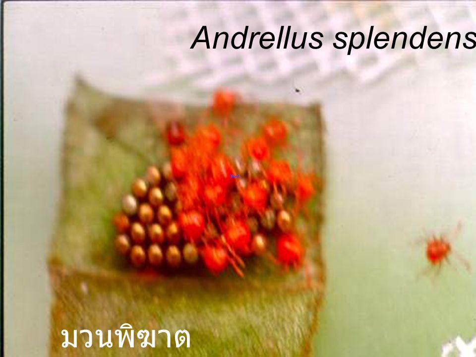 Andrellus splendens Nymph5 PD ตัวอ่อนวัย 5 ของมวนพิฆาต