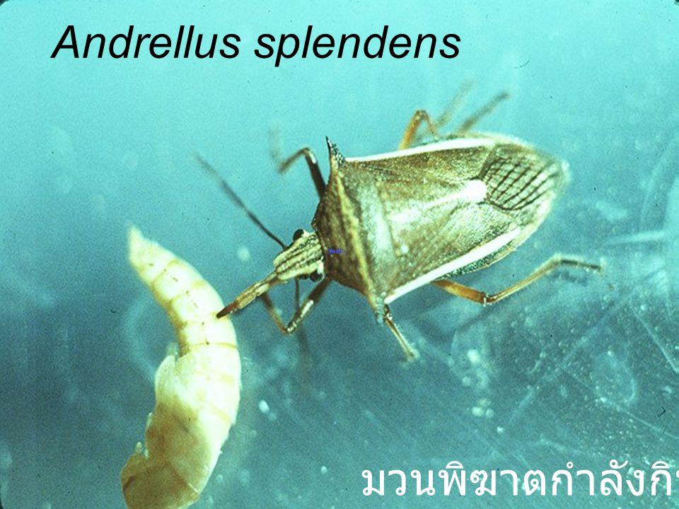Andrellus splendens red mhg มวนพิฆาต