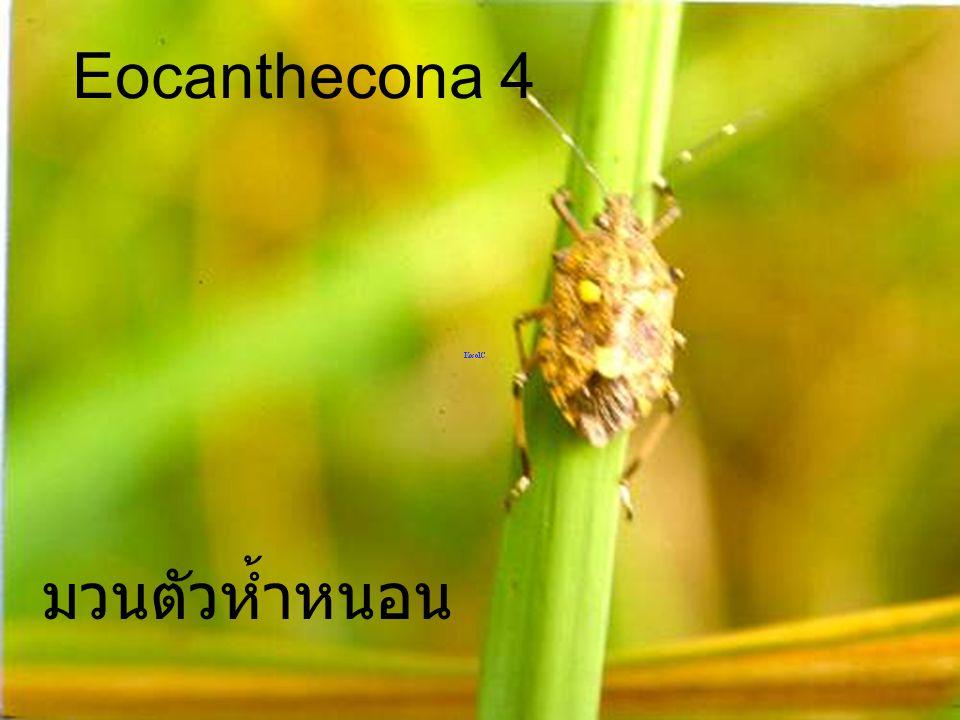 Eocaanthecona furrcellata VS Orgyia turbata มวนตัวห้ำหนอน