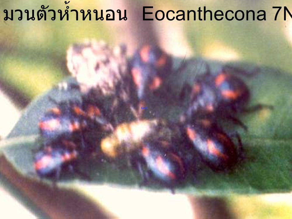 Eocanthecona 4 มวนตัวห้ำหนอน