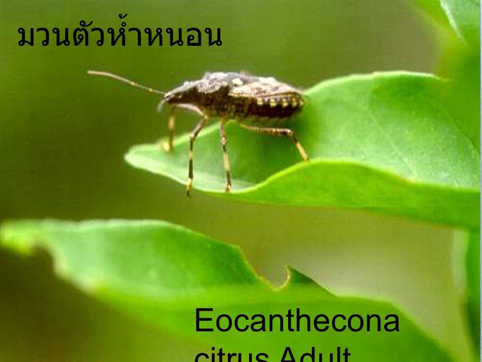 Eocanthecona 7Nymph1Egg มวนตัวห้ำหนอน