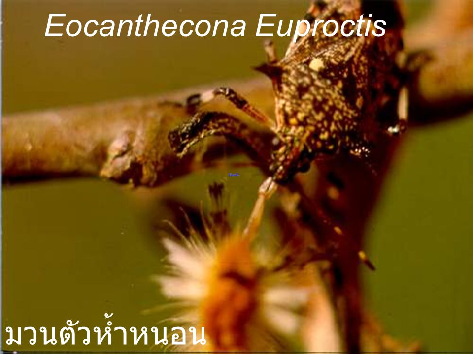 Eocanthecona citrus Adult มวนตัวห้ำหนอน