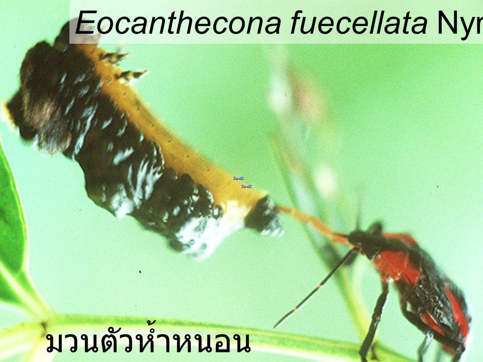 Eocanthecona Euproctis มวนตัวห้ำหนอน