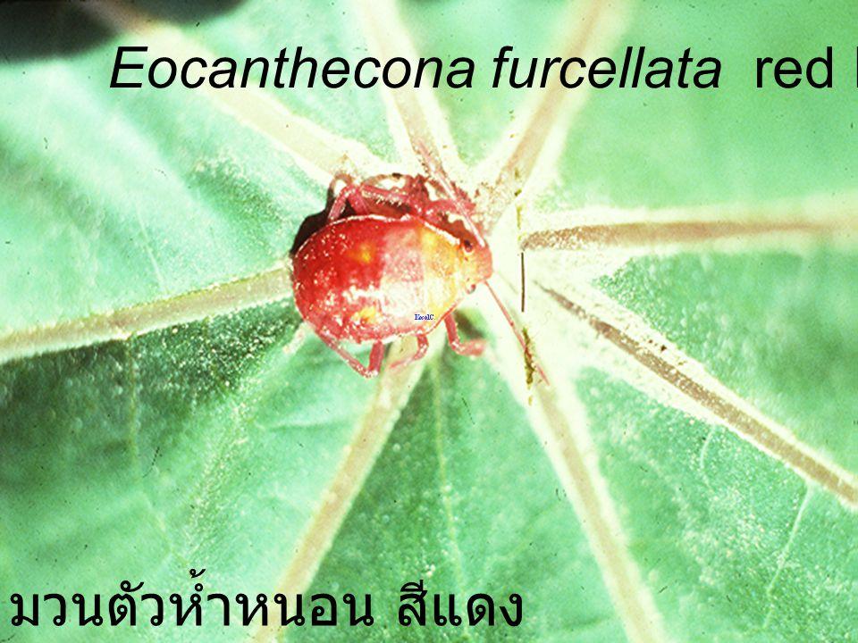Eocanthecona fuecellata Nymph5 VS Podontia มวนตัวห้ำหนอน