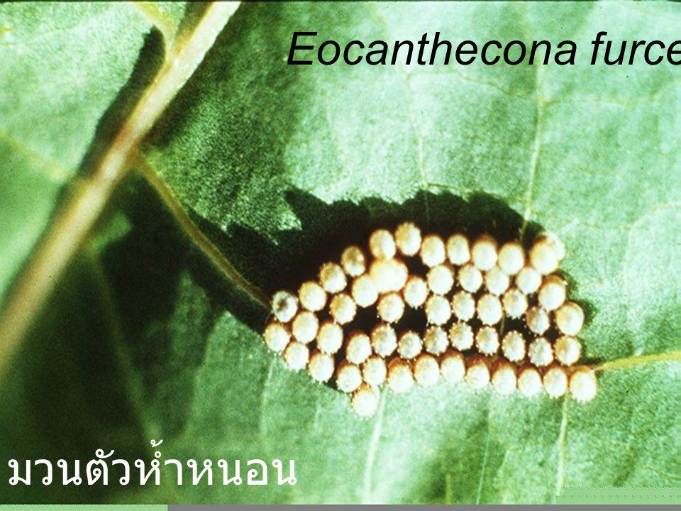 Eocanthecona furcellata red Nymph4 cs leaf มวนตัวห้ำหนอน สีแดง