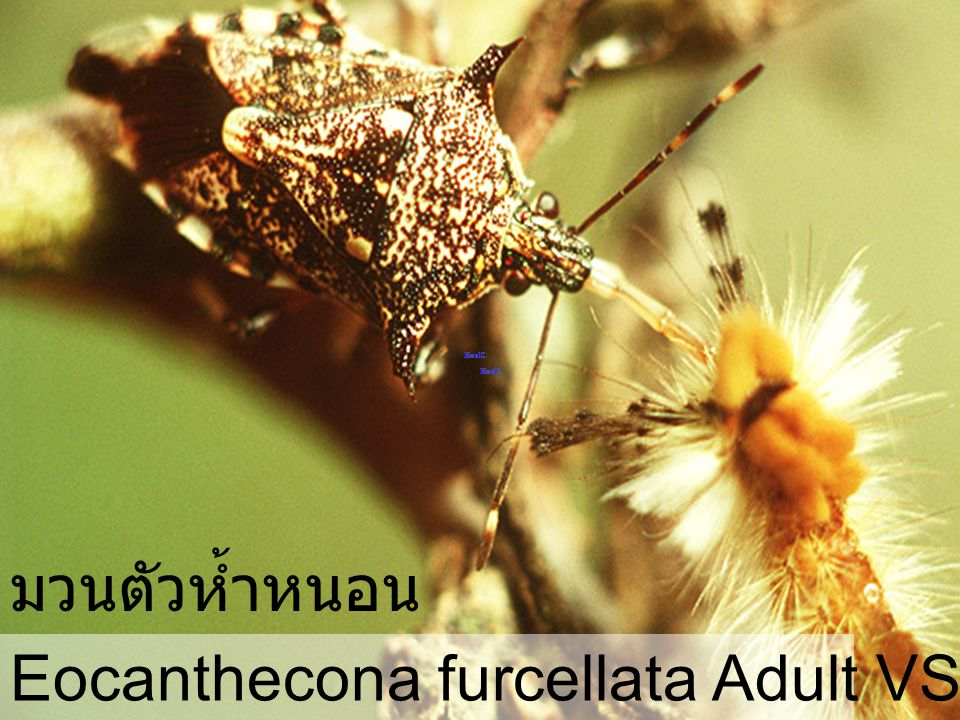 Eocanthecona furcellata 57 Egg มวนตัวห้ำหนอน