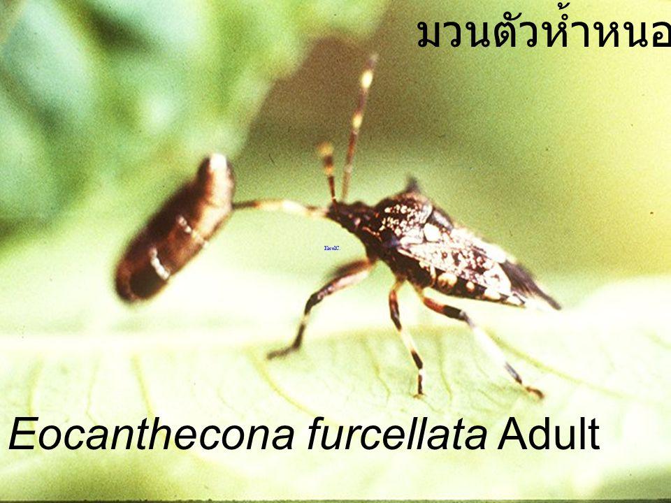 Eocanthecona furcellata Adult VS Orgyia turbata มวนตัวห้ำหนอน