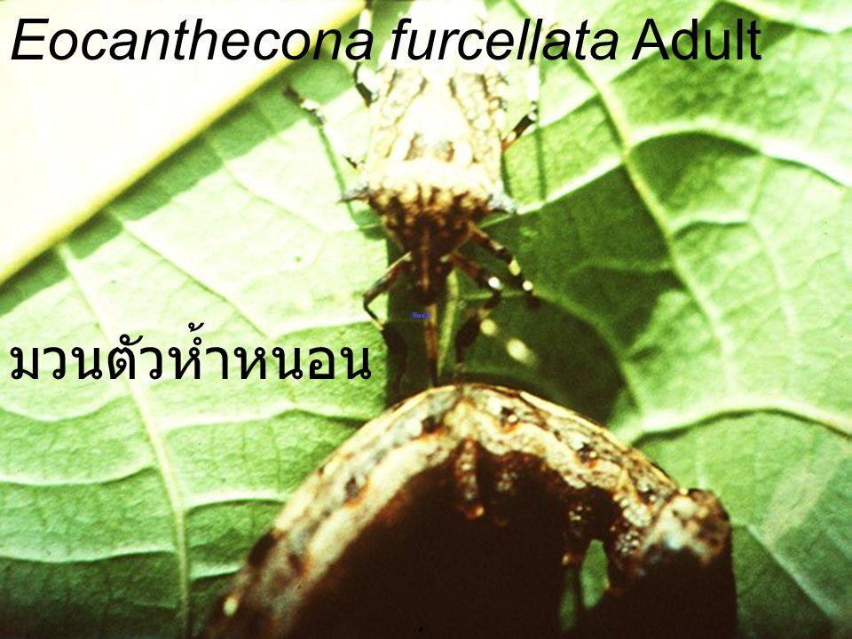Eocanthecona furcellata Adult มวนตัวห้ำหนอน