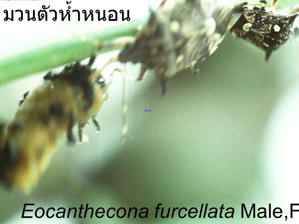 Eocanthecona furcellata Chakree มวนตัวห้ำหนอน