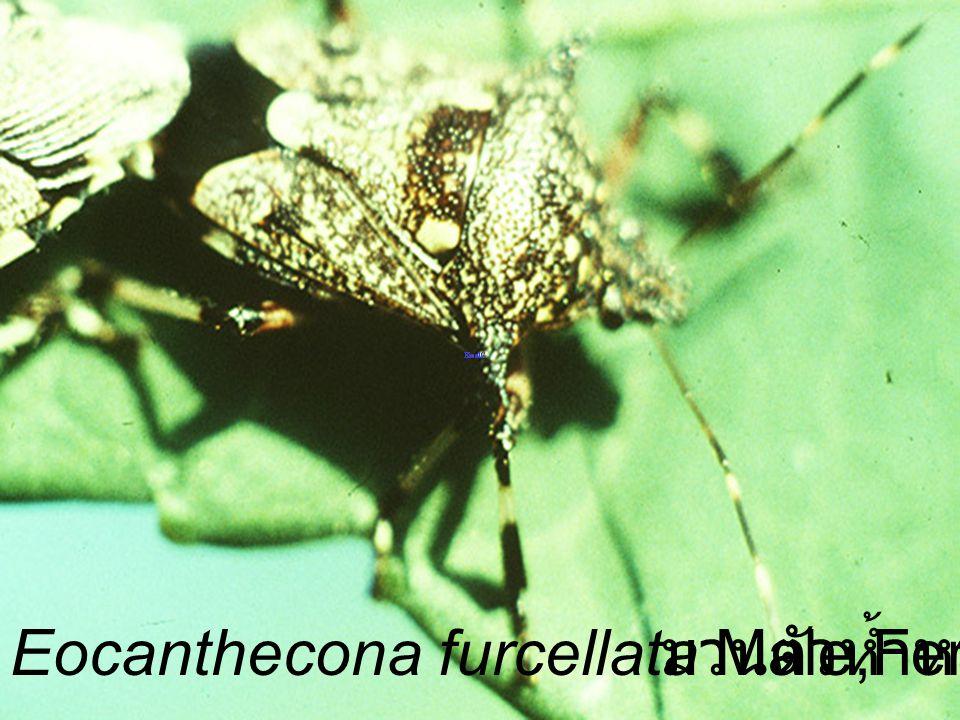 Eocanthecona furcellata Male,Female VS Podontia มวนตัวห้ำหนอน