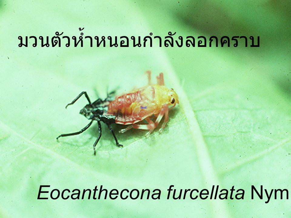 Eocanthecona furcellata Male,Female มวนตัวห้ำหนอน