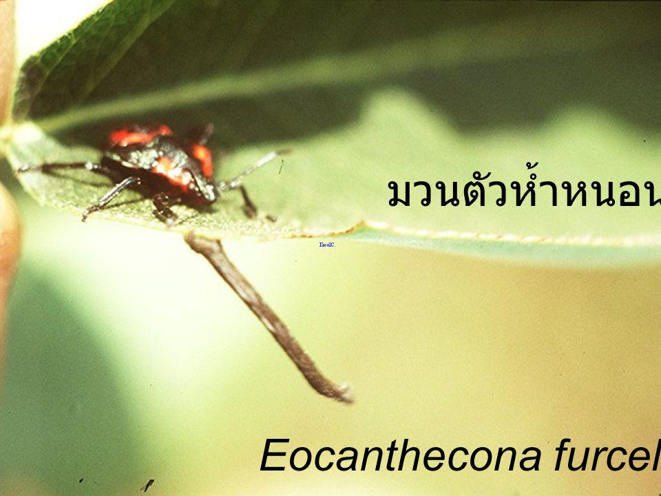 Eocanthecona furcellata Nymph3 to Nymph4 มวนตัวห้ำหนอนกำลังลอกคราบ