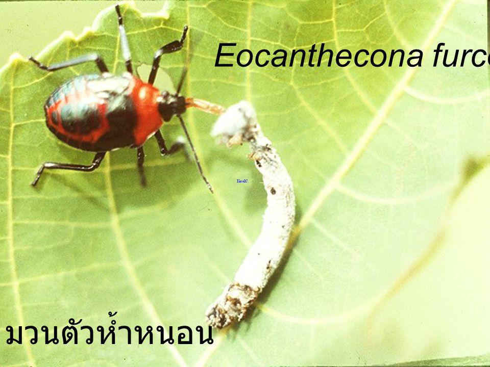 Eocanthecona furcellata Nymph3 มวนตัวห้ำหนอน