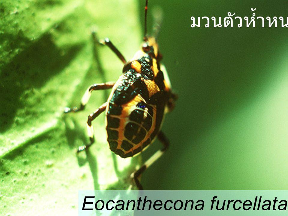 Eocanthecona furcellata มวนตัวห้ำหนอน