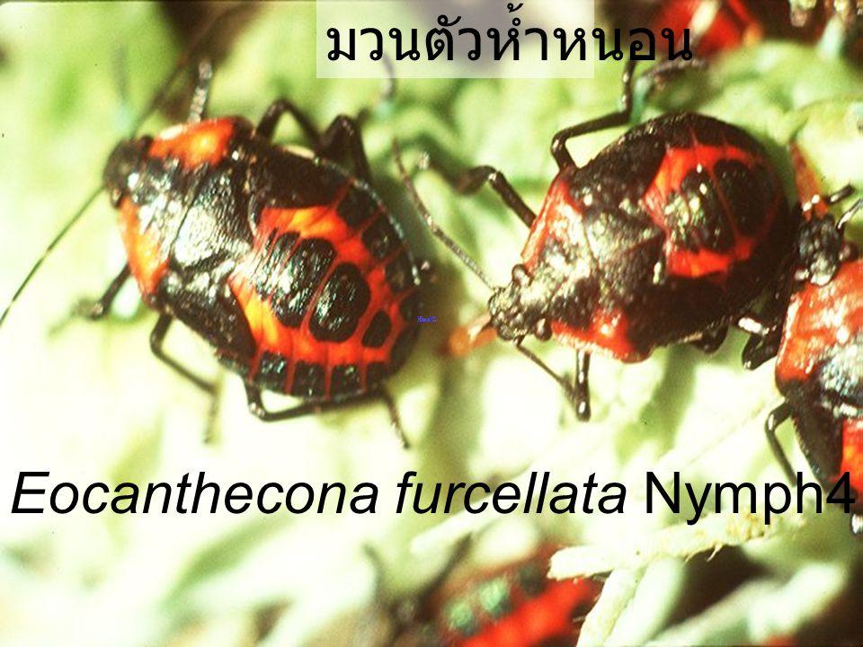 Eocanthecona furcellata Nymph4 citrus มวนตัวห้ำหนอน