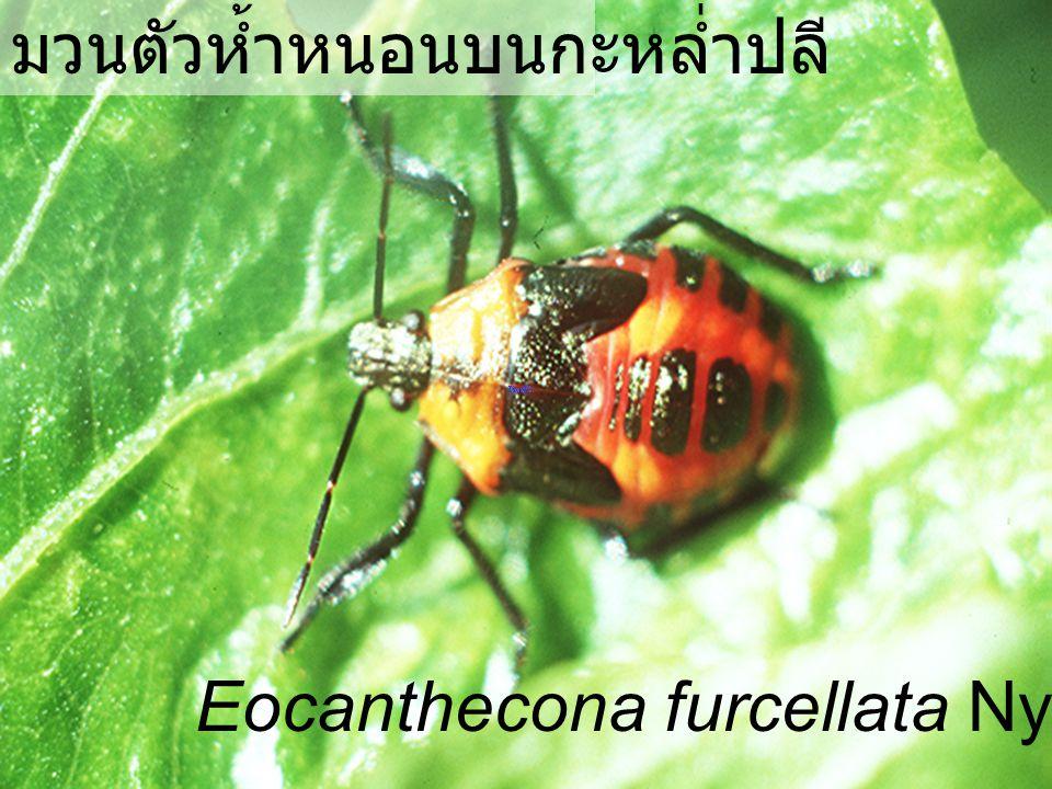 Eocanthecona furcellata Nymph4 มวนตัวห้ำหนอน