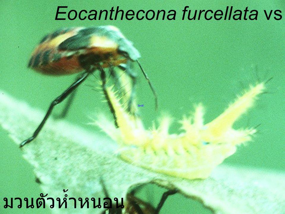 Eocanthecona furcellata Nymph5 on cabbage มวนตัวห้ำหนอนบนกะหล่ำปลี