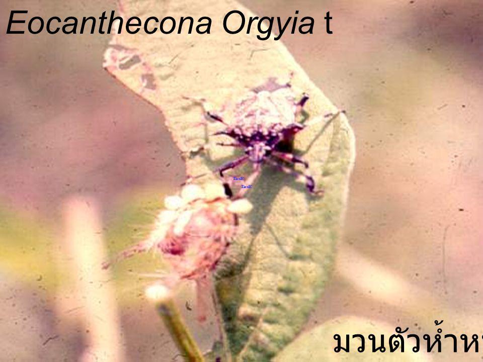 Eocanthecona furcellata vs Limacodid Larva มวนตัวห้ำหนอน