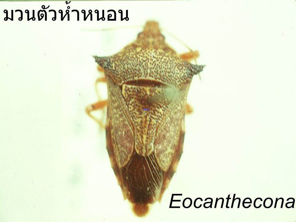 Eocanthecona Pontia มวนตัวห้ำหนอน