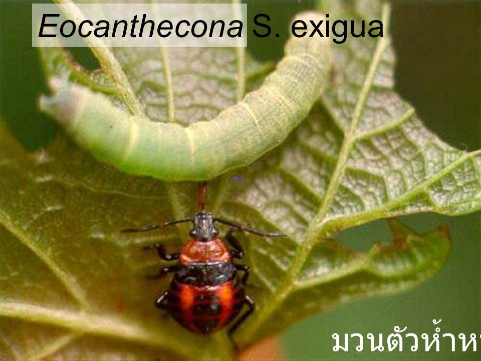Eocanthecona robusta มวนตัวห้ำหนอน
