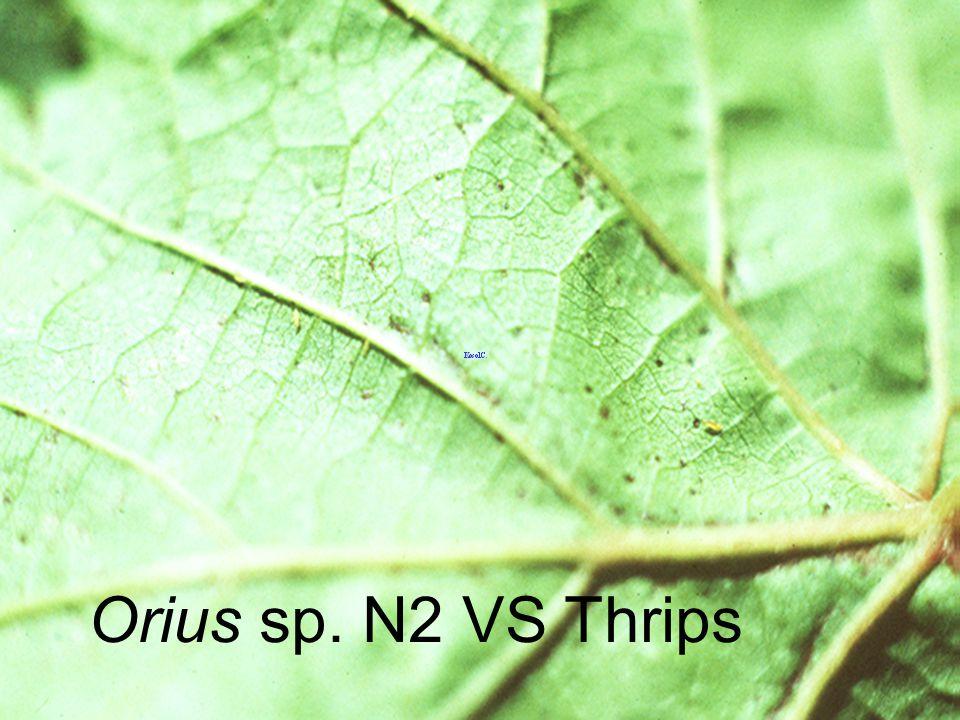Orius sp. Adult
