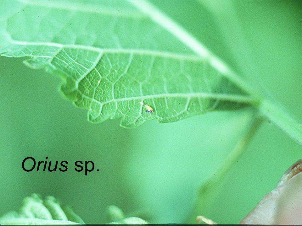 Orius sp. VS melon thrips