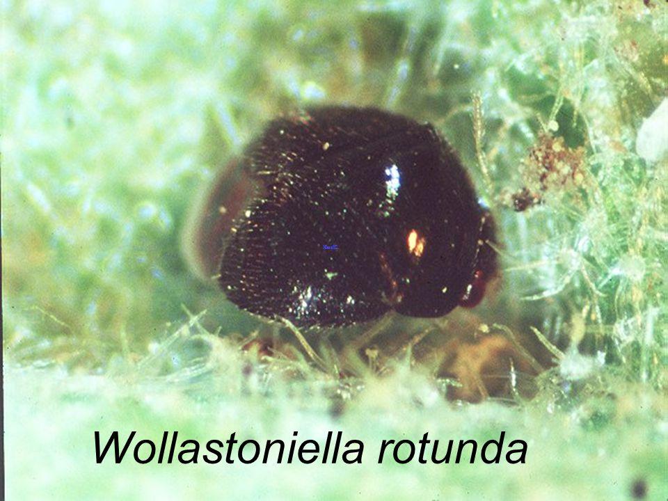 Wollastoniella rotunda A