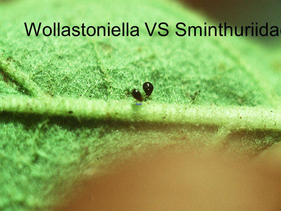 Wollastoniella VS predatory thrips