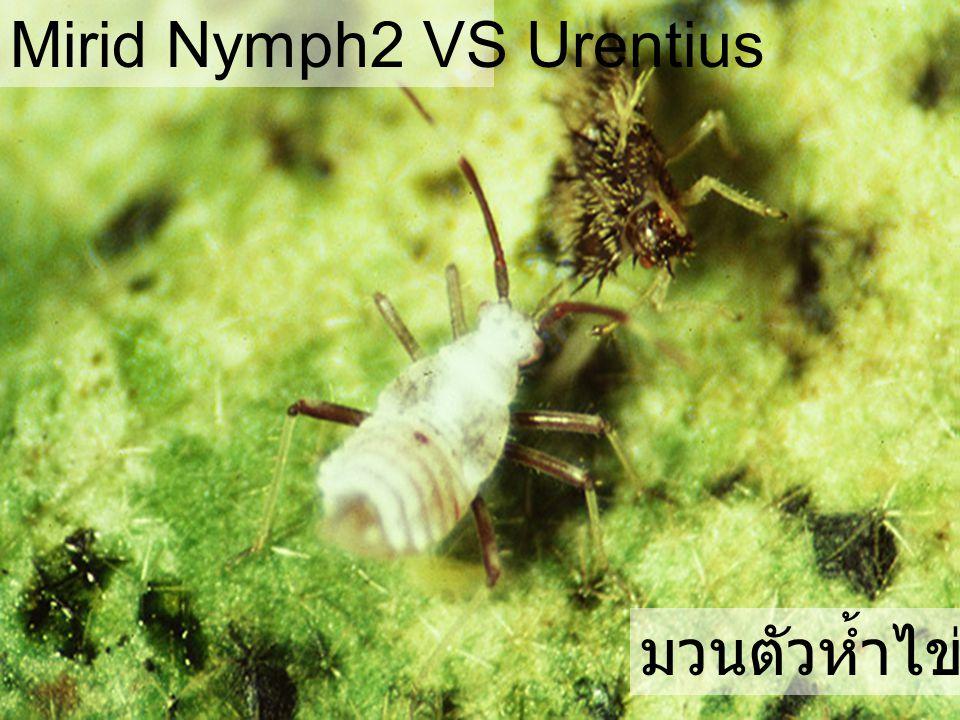 Cyrtorhinus lividipennis มวนตัวห้ำไข่เพลี้ย