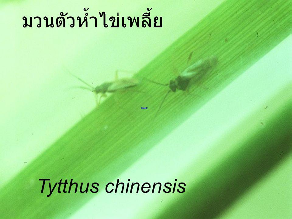 Mirid Nymph2 VS Urentius มวนตัวห้ำไข่เพลี้ย