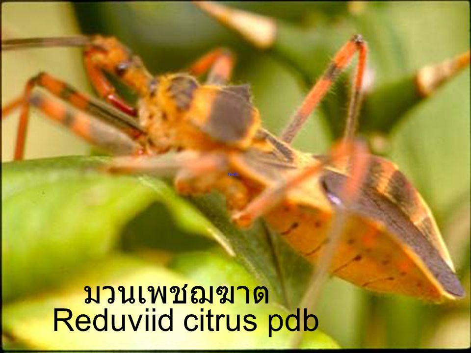 Reduviid citrus PD มวนเพชฌฆาต