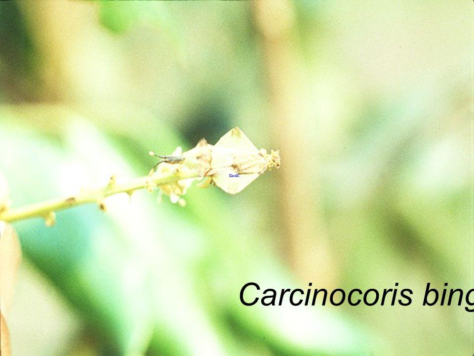 Antelochus sp. มวนแดง