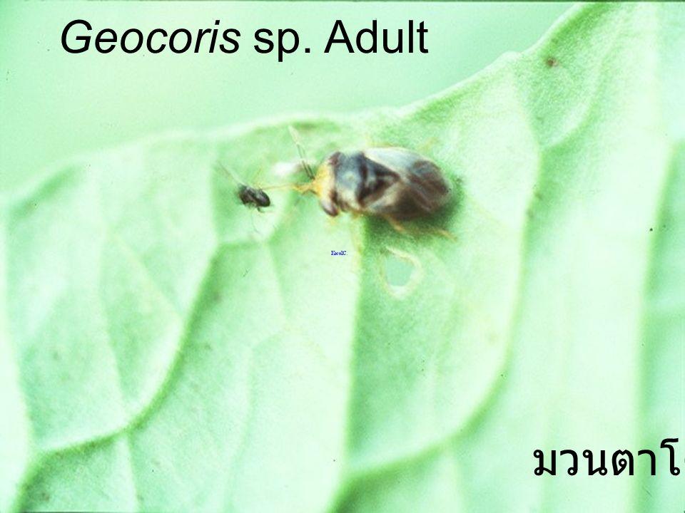 Geocoris sp. A bean leaf มวนตาโต