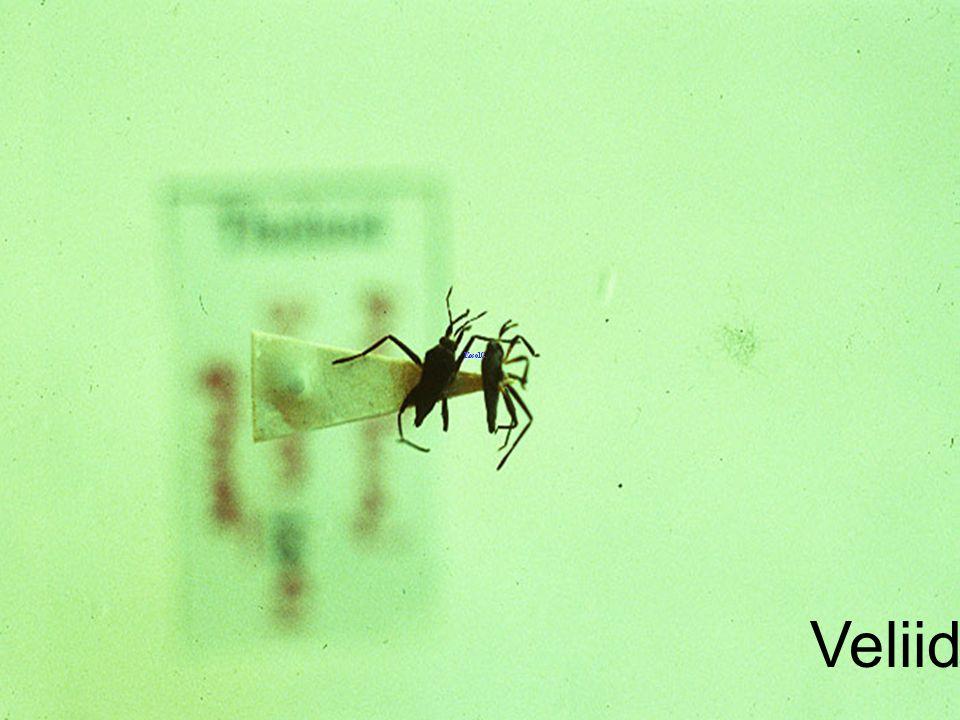 Leptocerus indica Adult แมลงดานา