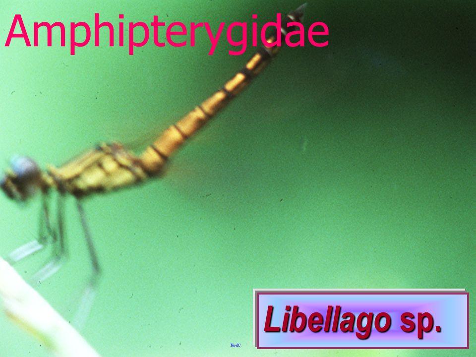 Calopterygidae