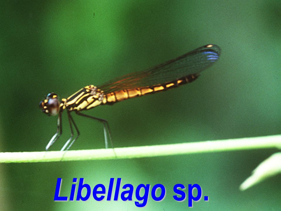 Libellago sp.: jed kod