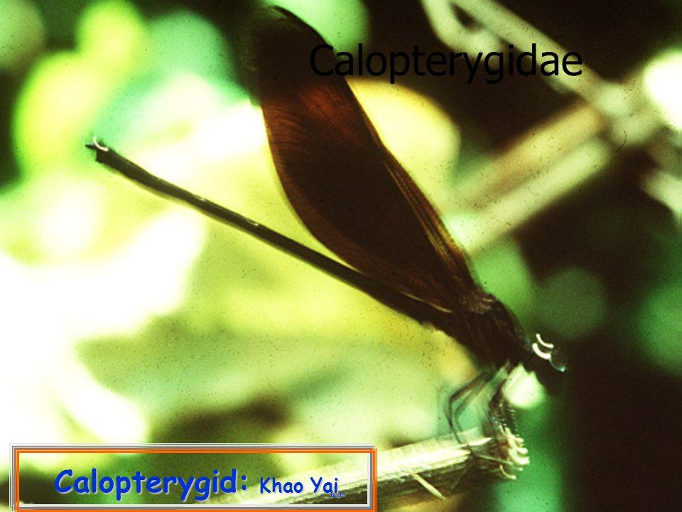 Calopterygid: Khao Yai Calopterygidae